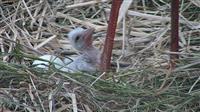 千葉・こうのとりの里でコウノトリのひな2羽誕生