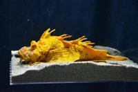 強運の黄金オニオコゼ 新潟・上越市の水族館