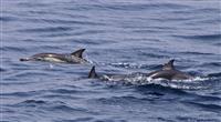 瀬戸内海にイルカの群れ 愛媛沖、50頭泳ぐ