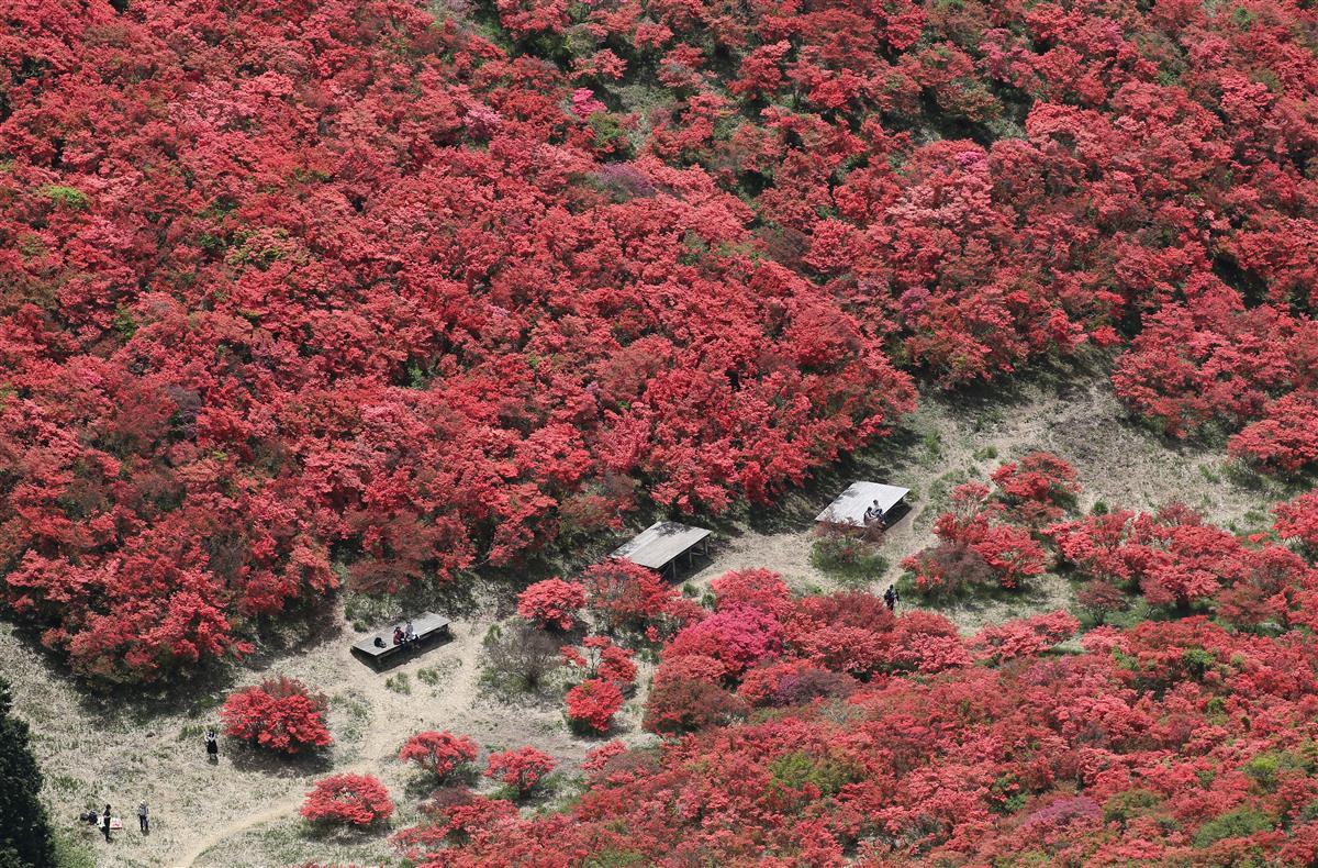 【動画】「一目百万本」山肌真っ赤に 葛城山のツツジ