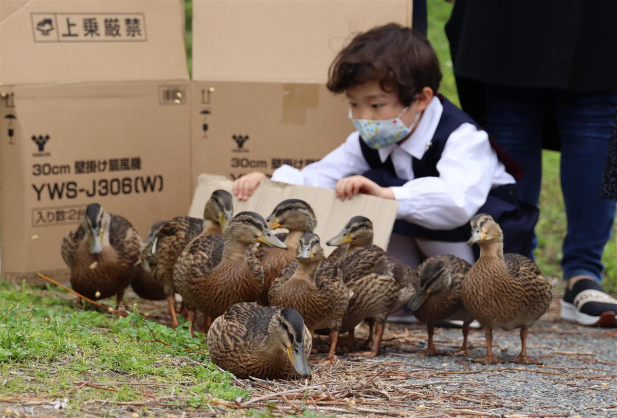 京都・清涼池の子ガモ12羽 鴨川へ引っ越し