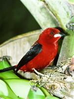 """その野鳥のオスは羽をカラフルに見せて""""モテる""""べく、「光の加減」を操作する"""