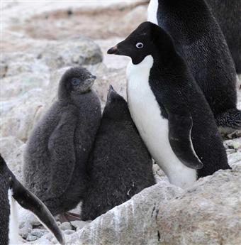 アデリーペンギンの画像 p1_30