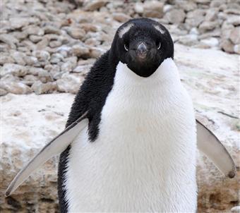 アデリーペンギンの画像 p1_29