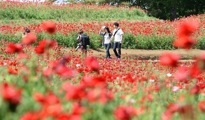 産経フォト国営昭和記念公園でシャーレーポピーが見ごろサイトナビゲーション国営昭和記念公園でシャーレーポピーが見ごろPR