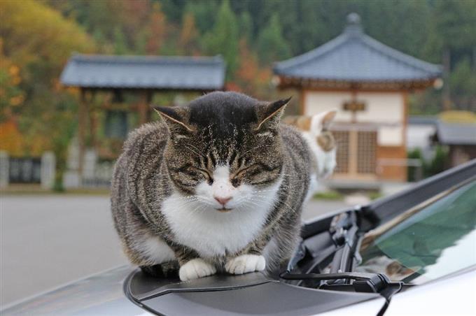 早朝の冷え込みが気になり始めたのか、暖まった自動車のボンネットで「いい気持ち・・・」=11月13日、福井県越前市の御誕生寺(尾崎修二撮影)