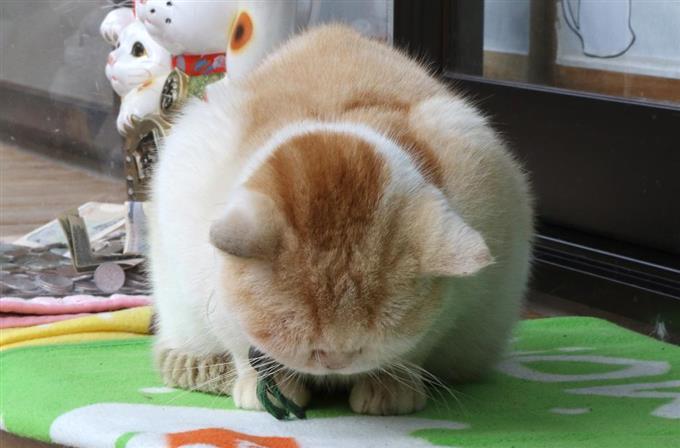 流行りの「ゴメン寝」?いびきをかきながら眠るのは来訪者にも大人気の「レオ」=11月13日、福井県越前市の御誕生寺(尾崎修二撮影)