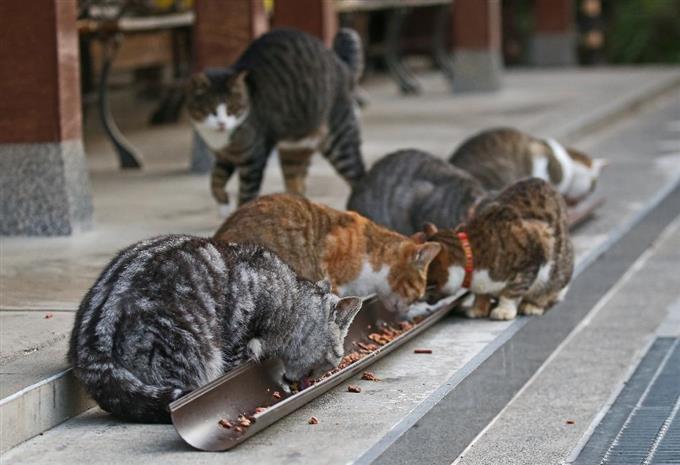 御誕生寺の名物となっている猫の食事風景。雨どいを使ったエサ台には誰もが「ナイスアイデア!」と声をそろえる=11月13日、福井県越前市の御誕生寺(尾崎修二撮影)