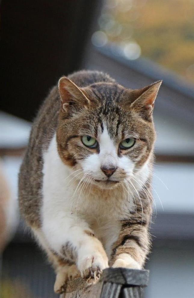 鋭い表情で爪を研ぐ…野性味たっぷりの猫=11月13日、福井県越前市の御誕生寺(尾崎修二撮影)