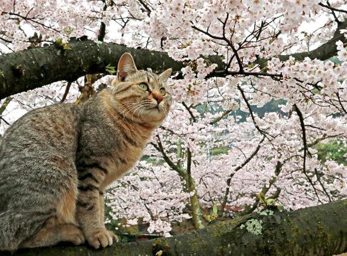 桜の樹の下には…猫! 千光寺公園...