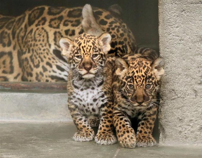 ジャガーの画像 p1_34