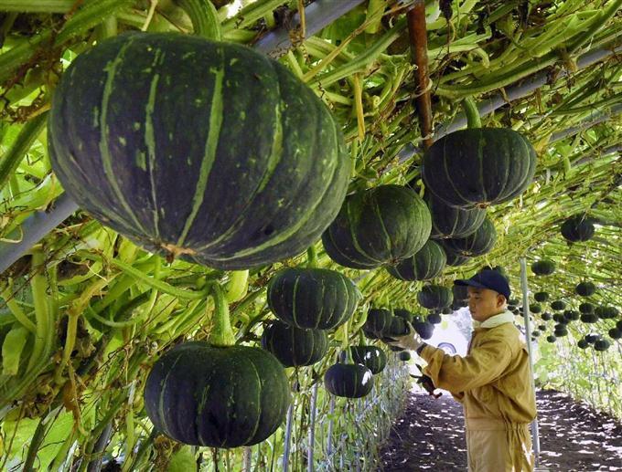 カボチャを「空中栽培」 北海道長沼町、収穫間近 - サッと見 ...