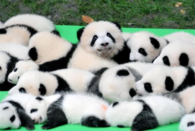 中国四川省の成都パンダ繁殖育成研究基地でお披露目された赤ちゃんパンダ