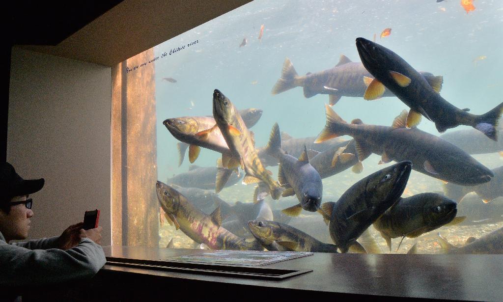 産経フォトサケの遡上 水中で観察 北海道・千歳水族館
