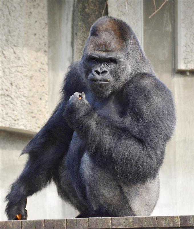 東山動植物園のイケメンゴリラ「シャバーニ」=名古屋市