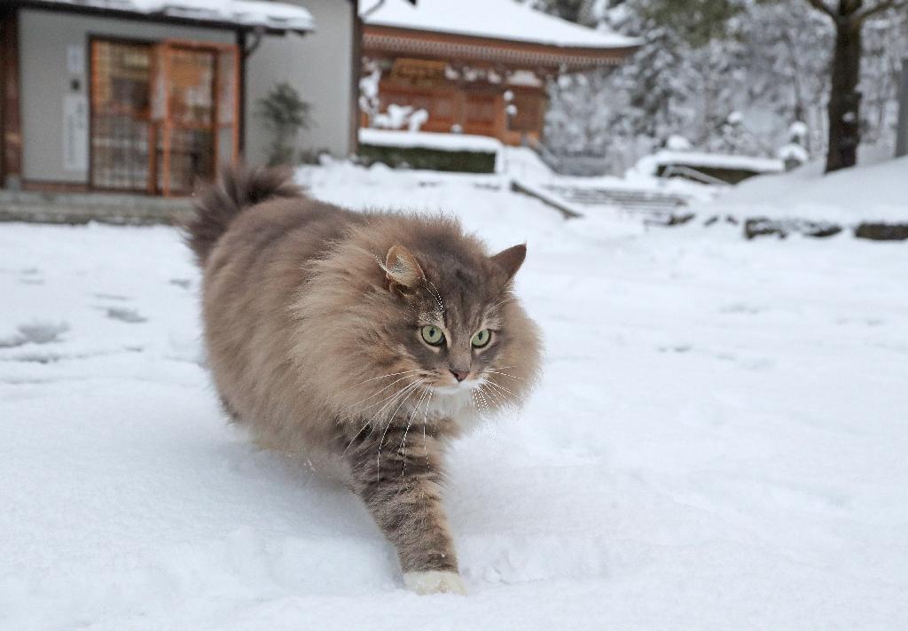 猫、春を待つ 雪に包まれた「猫寺」 - 読んで見フォト - 産経フォト