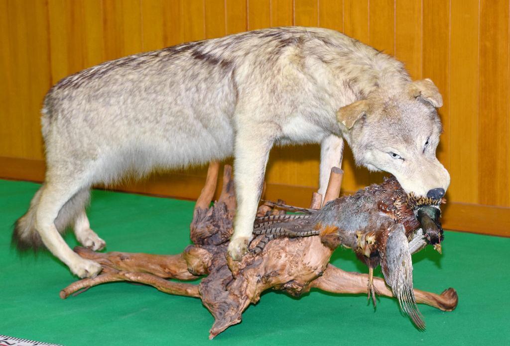 オオカミの剥製出品疑い 広島の...
