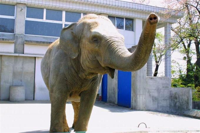アジアゾウの画像 p1_8