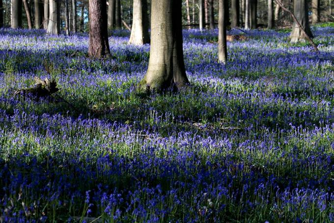 Wild Bluebells, which bloom around mid-April, form a carpet in the Hallerbos, also known as