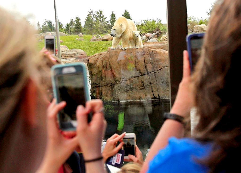 Visitors take pictures of a polar bear cub as it makes its public debut with her mother Anana in their habitat at the Columbus Zoo and Aquarium in Powell, Ohio on Wednesday, April 19, 2017. The central Ohio zoo said the public will have a chance to weigh in on a name for the female cub. (Brooke LaValley/The Columbus Dispatch via AP)