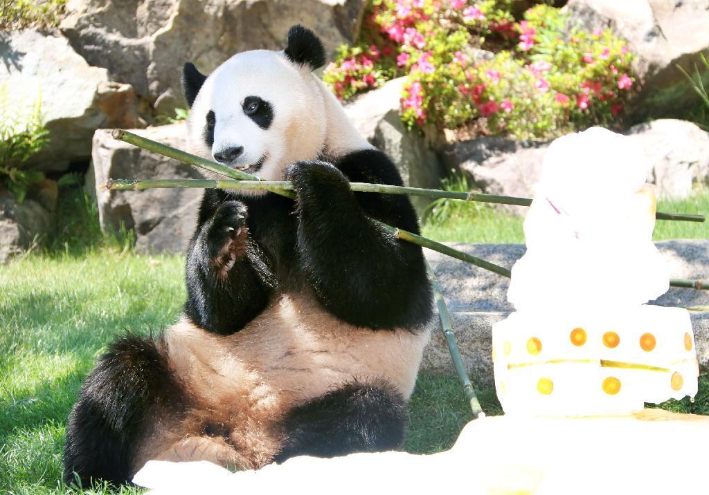中国のジャイアントパンダの優浜