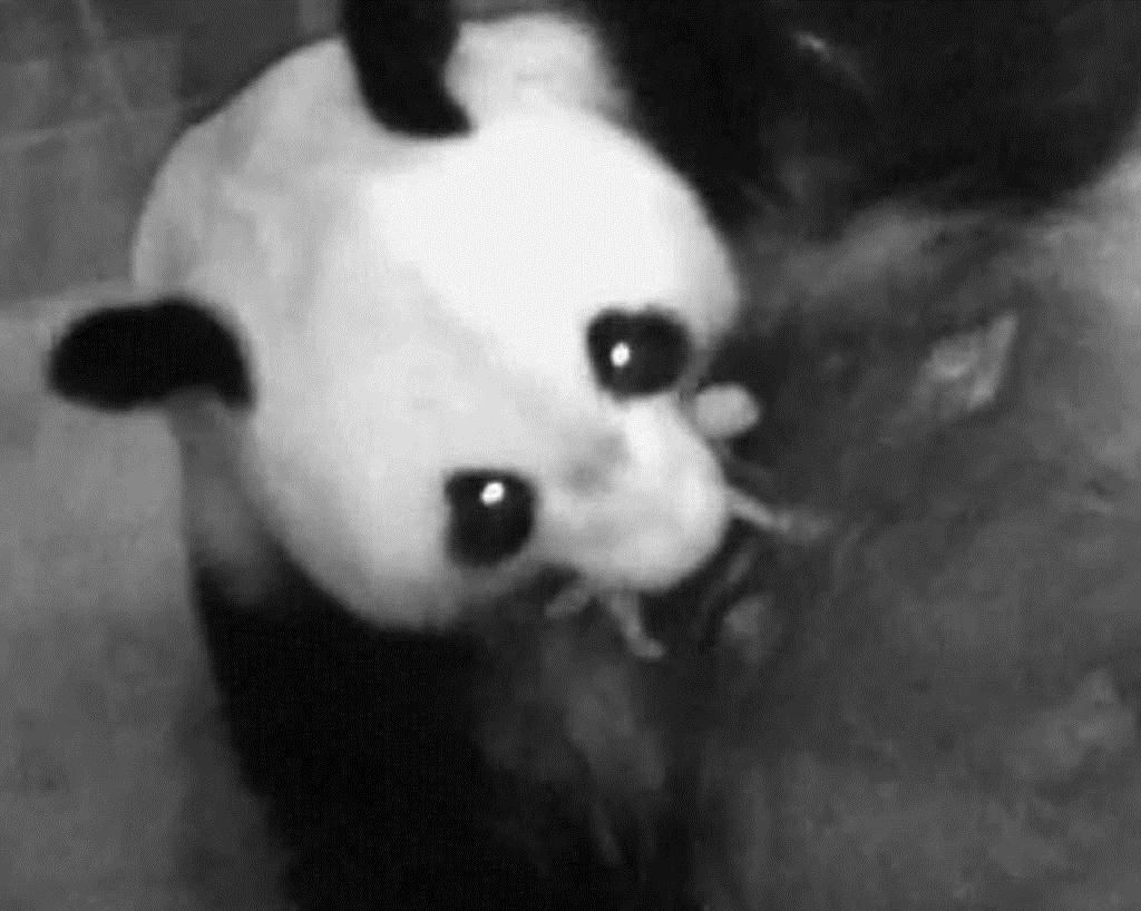産経フォト上野のパンダ5年ぶり出産 シンシン、ママに