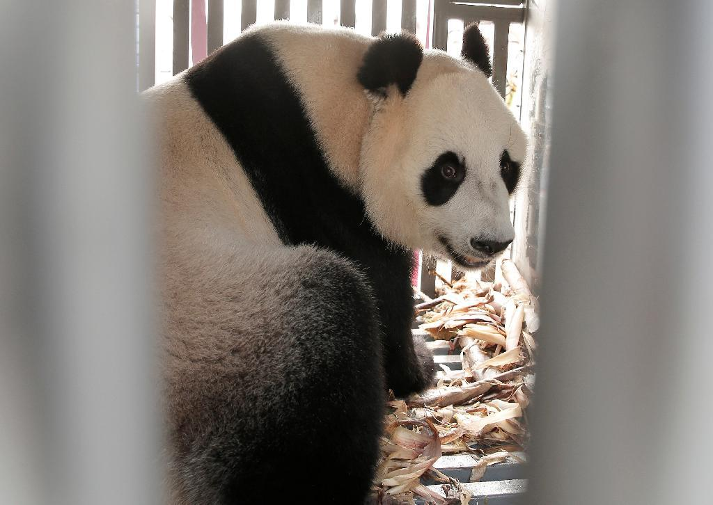 中国からインドネシアに貸与されたパンダ