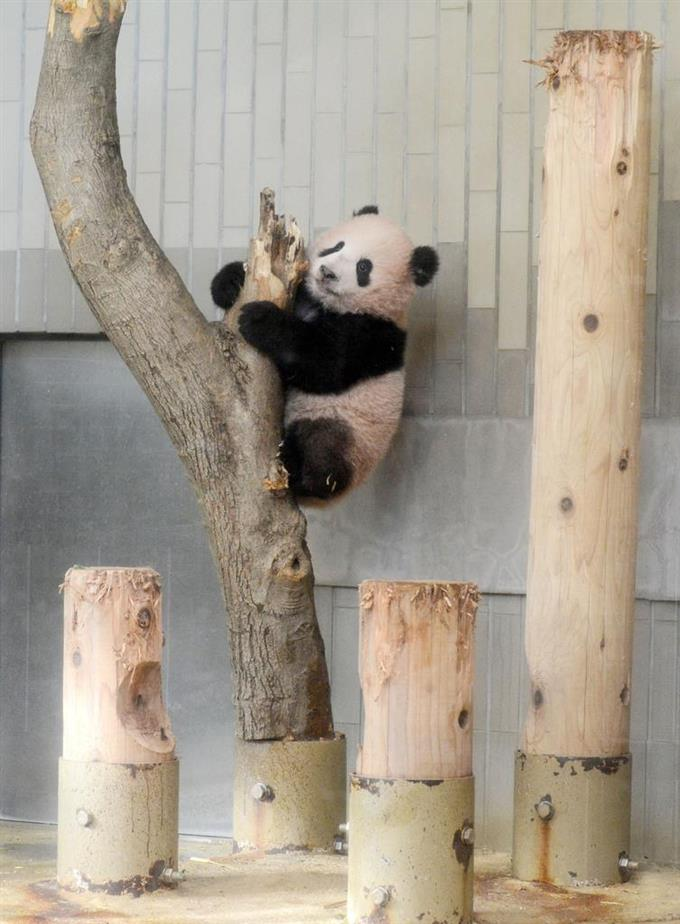 木に登るシャンシャン=19日、東京・上野動物園(東京動物園協会