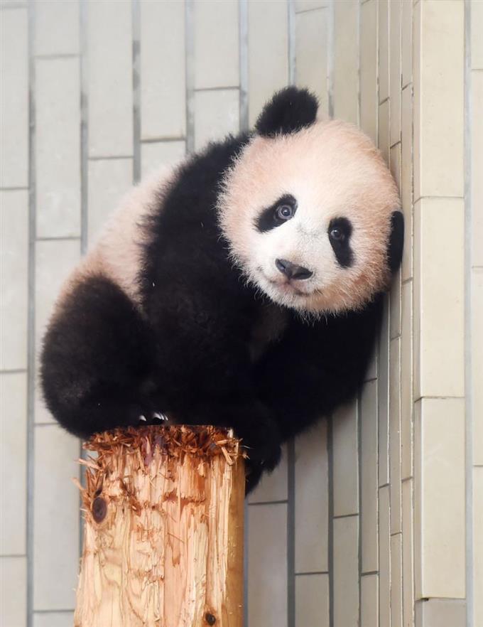 丸太に登ったシャンシャン=25日、東京・上野動物園(東京動物園