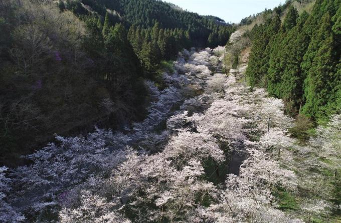 view 山あい流れる桜の大河 岐阜...