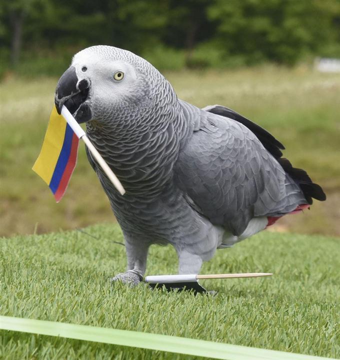 コロンビアの国旗をくわえるインコの「オリビア」=18日午後、栃木県那須町の那須どうぶつ王国