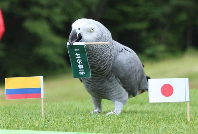 W杯サッカーロシア大会の日本対コロンビアを占う「オリビアちゃん」。最初は引き分けを選んだが… =18日午後、栃木県那須町の那須どうぶつ王国