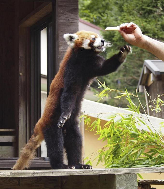 15歳の誕生日を迎え、プレゼントのリンゴを求めて立ち上がるレッサーパンダ