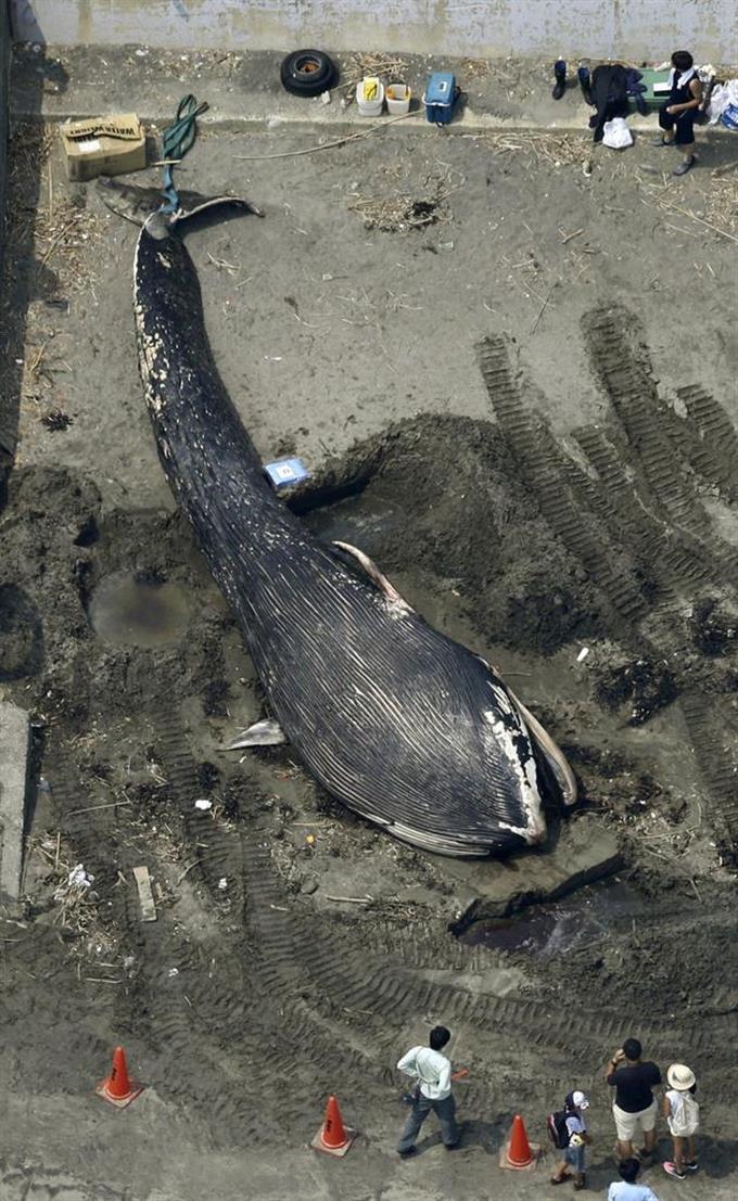 シロナガスクジラの画像 p1_22