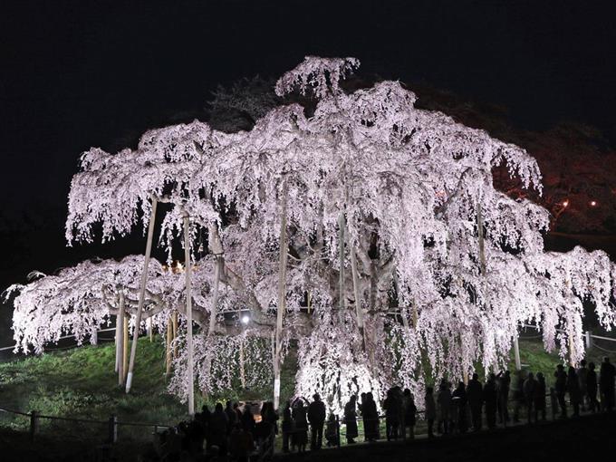 暗夜に浮かぶ「滝桜」 福島・三...