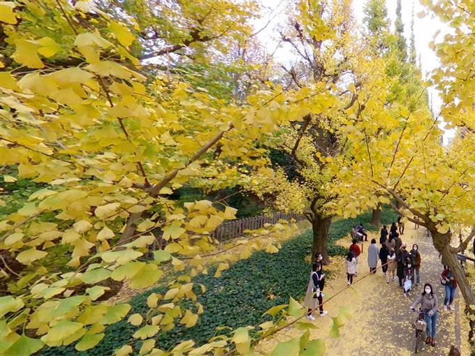 都内の秋 色づくイチョウ 明治神宮外苑【360°パノラマ】