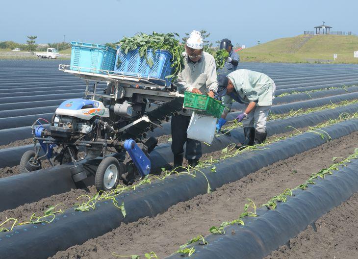 「やまもとファームみらい野」の畑で行われたサツマイモの苗の植え付け作業=6月、宮城県山元町(石崎慶一撮影)