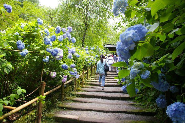 アジサイがびっしりと咲き乱れる明月院の入口