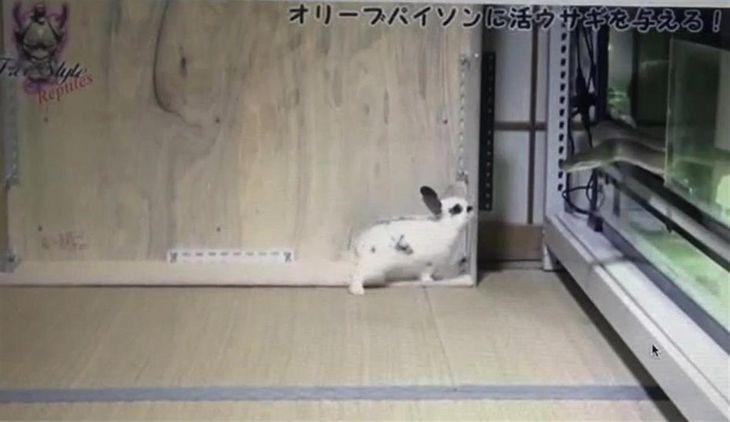 ヘビにエサとして生きたウサギを与えた様子を撮影した動画(日本動物虐待防止協会提供)