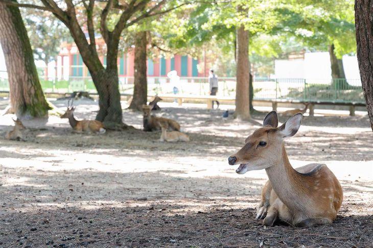 観光客減で奈良のシカが健康に 鹿せんべい依存の個体も?