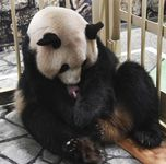ジャイアントパンダの雄の赤ちゃんを抱く母親の良浜=22日午後、和歌山県白浜町(アドベンチャーワールド提供)