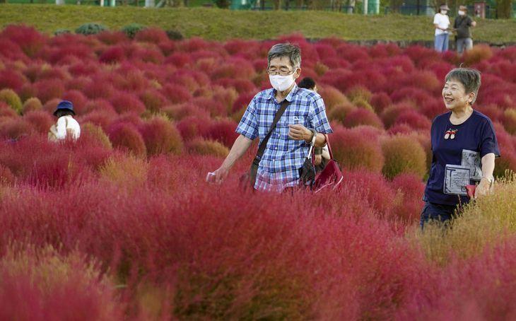 紅色に染まった国営讃岐まんのう公園のコキア=9日午後、香川県まんのう町