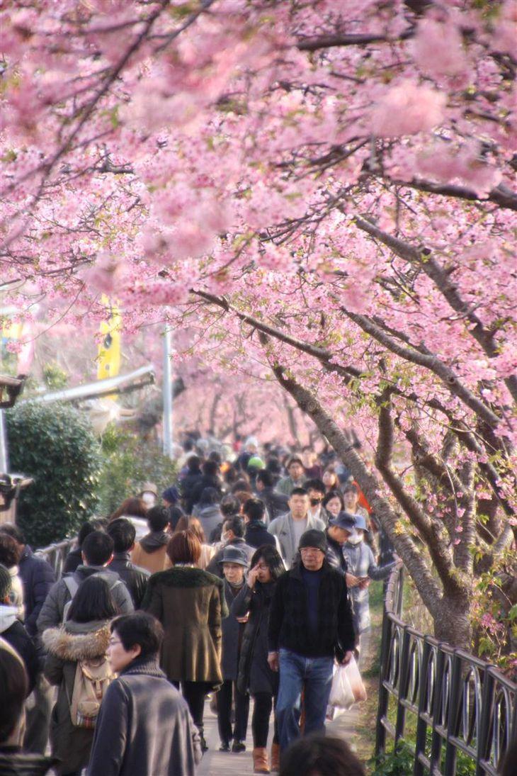 例年は花見を楽しむ大勢の観光客でにぎわう河津桜まつりだが…(河津町提供)