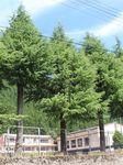 校庭に入り込んだクマが登った木(左から3本目)=岐阜県高山市奥飛騨温泉郷の市立栃尾小