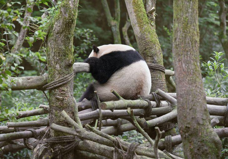 森の中で昼寝するパンダ =中国・四川省都江堰市(共同)