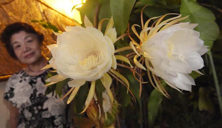 幻想的な月下美人の花=大阪府藤井寺市