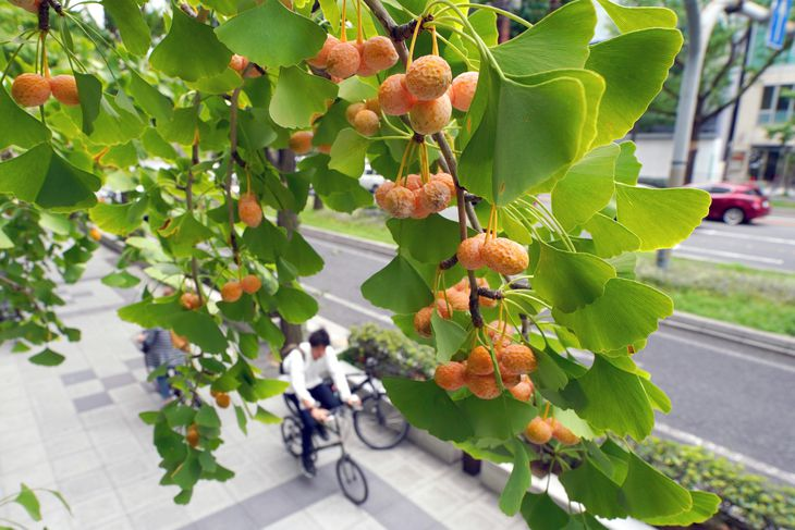 御堂筋で色づき始めたギンナン=7日、大阪市中央区(前川純一郎撮影)