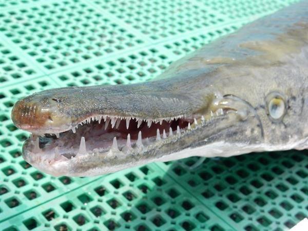 兵庫県たつの市で今年5月に釣り上げられたアリゲーターガー。在来魚を食い荒らす凶暴さで知られている(揖保川漁協提供)