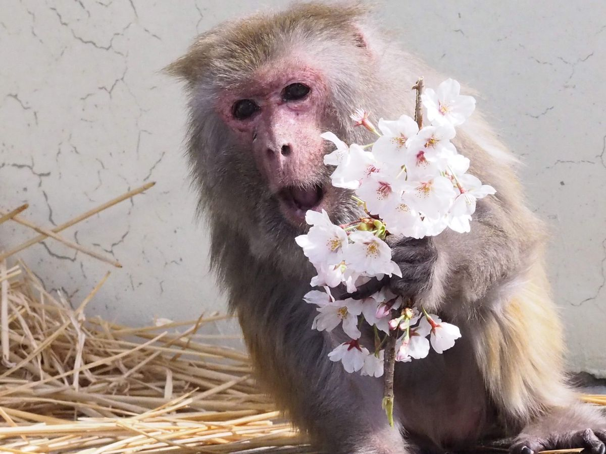 アカゲザル「イソコ」(京都市動物園提供)