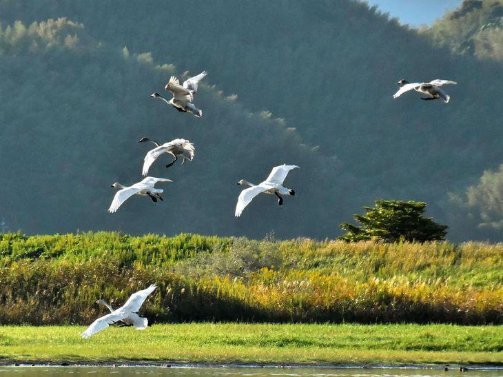 鳥取県米子市の米子水鳥公園に飛来したコハクチョウ=7日午前(野田勝利さん提供)